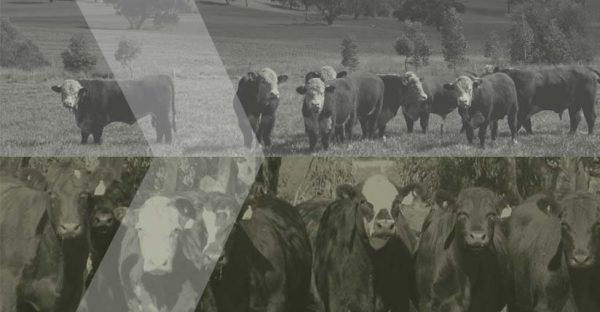 Popup cattle image